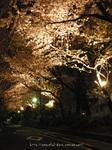 夜桜(13)