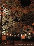 夜桜ピクニック