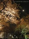 夜桜お月さま