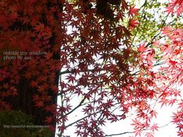 12月7日の紅葉 (2)
